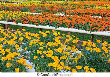Marigold in the garden