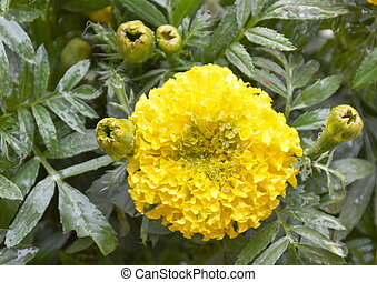 marigold in the garden