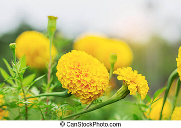 Marigold of nature.
