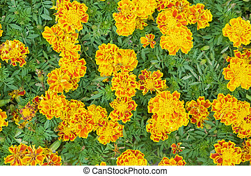 Marigold or Tagetes erecta with green leaves
