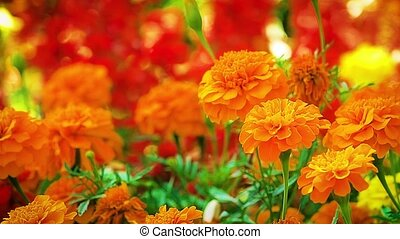 Marigold orange flowers swaying in the summer breeze in a...