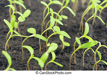 Marigold sprouts