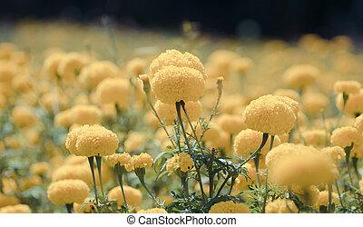 Marigold , vintage flower