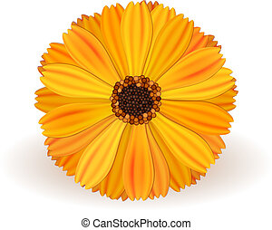 Marigold - yellow vector marigold flower realistic on white ...