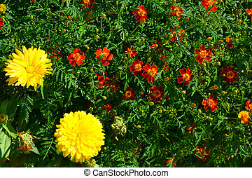Marigolds and daisies. Flowering shrubs in the garden design. Beautiful summer landscape on a summer day.