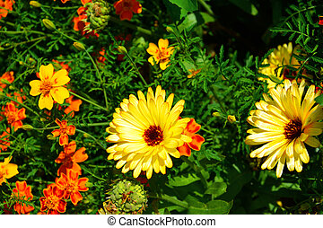 Marigolds and daisies. Flowers and flowering shrubs in the garden design. Beautiful summer landscape on a summer day.
