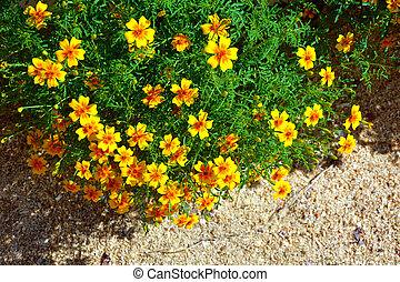 Marigolds growing in the ridges. Flowering shrubs in the garden design. Beautiful summer landscape on a summer day.