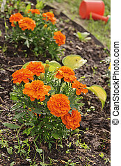 marigolds on the flower bed