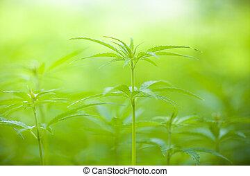 marihuana, betriebe, makro, foto, niedrig, tiefe, von, fokus