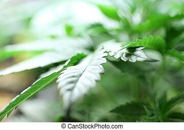 marihuana, wole
