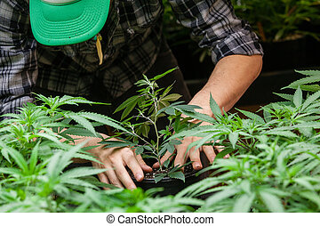 marijuana, agricultor