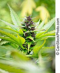 marijuana, bourgeon