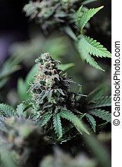Marijuana bud - A closeup view of a bud from an marijuana ...