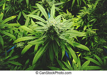 Marijuana Bud on Canopy of Plants - Homegrown indoor pot...