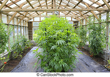 marijuana, (, cannabis), cáñamo, planta, crecer, dentro, el, casa verde, en, privado, jardín, de, washington, state., legal, médico, marijuana, ley, en, us., cultivador, usos, hojas, hacer, jugo, para, salud, support.