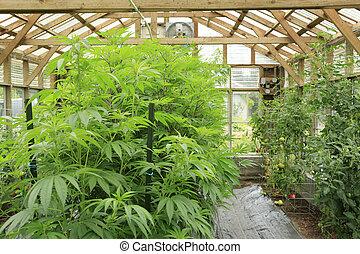 marijuana, (, cannabis), cáñamo, planta, crecer, dentro, el,...