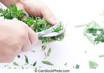 marijuana, cannabis, cannabis, proces, émondage, homme, récolte, coupures, bourgeons
