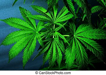 marijuana, cannabis, fresco, verde, leaves., bonito, planta