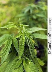 marijuana, cannibis, planta, ou, seedling