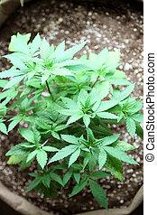 marijuana, colheita