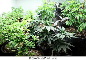 marijuana, crop