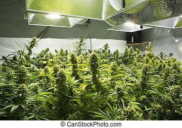 marijuana, flor, buds.