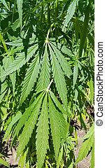 marijuana), foliage, planta, fresco, verde, (hemp, cannabis