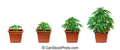 Marijuana growing phase - One marijuana plant in four ...