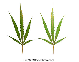 marijuana lap, elszigetelt, white