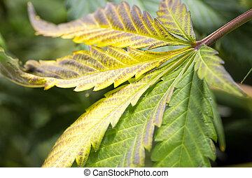 Marijuana leaf during harvest.
