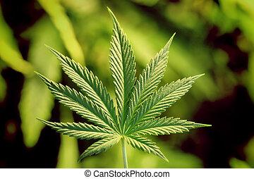 marijuana leaf on white illegal skunk from amsterdam