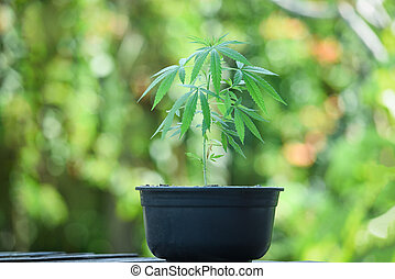 Marijuana leaves cannabis plant tree growing in pot on nature green background