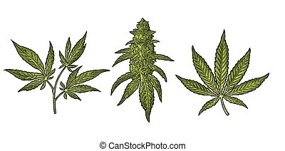 Marijuana mature plant with leaves and buds cannabis. Hand drawn design element. Vintage color vector engraving illustration for label, poster, web. Isolated on white background