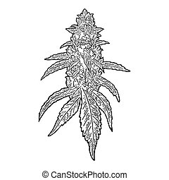 Marijuana mature plant with leaves and buds cannabis. Hand drawn design element. Vintage black vector engraving illustration for label, poster, web. Isolated on white background