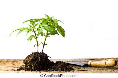 Marijuana plant growing from the ground