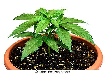 Marijuana plant in flower pot isolated on white background