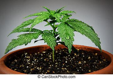 Marijuana plant in flower pot