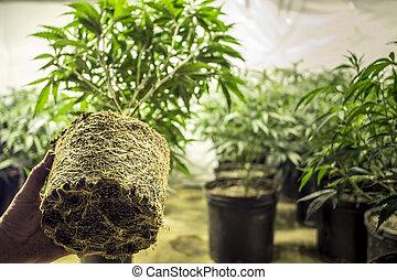 Marijuana Plant Roots in Transplant - Marijuana plant being...