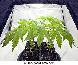 Marijuana plants in the pots