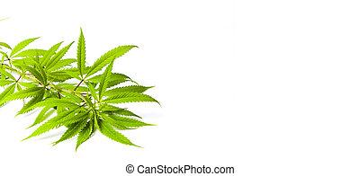 marijuana, ramas, aislado, blanco