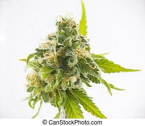 marijuana, sur, strain), détail, isolé, cannabis, fond, russe, blanc, (black, bourgeon
