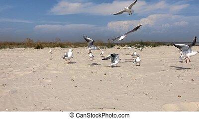marin, mouettes, mer noire, troupeau, plage, blanc, sablonneux