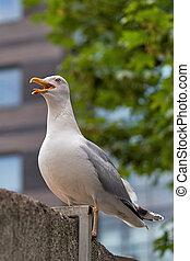 Marine bird Albatross sitting on fence with an open beak. On the background of houses