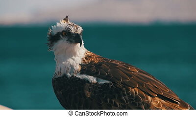 Marine Bird of Prey Osprey Sits on the Background of Red Sea