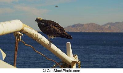 Marine Bird of Prey Osprey Sits on the Mast of the Ship's...