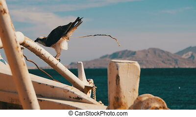 Marine Bird of Prey Osprey Sits on the Mast of the Ship's Bow and Defecates Against Background of Red Sea and Egypt Mountains in Sinai. Red Sea Bird in Egypt. Pandion haliaetus.
