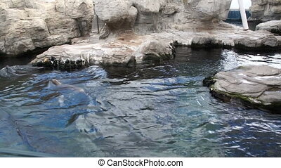 Marine brown shiny lions swim inpool blue water - Marine...