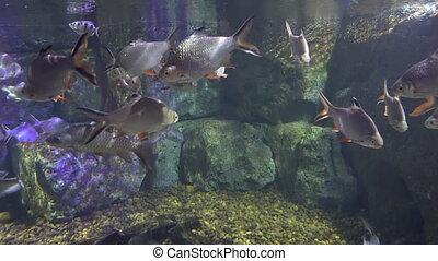 marine fishes serenely swim in the sea water of the aquarium. beautiful fabulous sea fish.