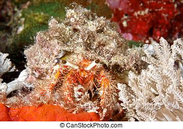Marine Hermit Crab - A marine hairy red hermit crab,...