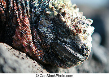 Marine Iguana Close Up